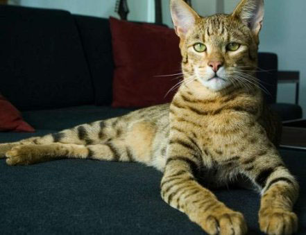 World's most expensive cat breed: Ashera.