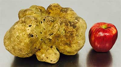 World's largest truffle sells for US$61,250 at Sotheby's auction.