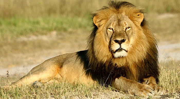 Cecil the lion (c. 2002 - July 1, 2015).