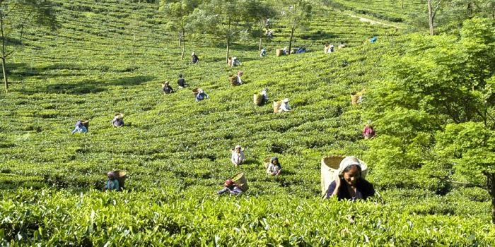 Darjeeling Tea & First Flush.