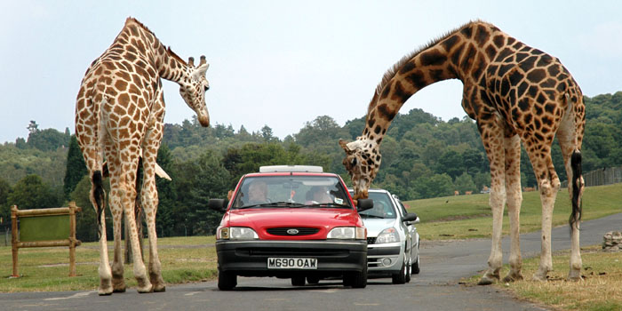 Giraffes being fed by visitors in the West Midland Safari Park, England, U.K.